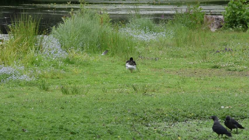 Oystercatcher taking at a pond at Drottningholm, Stockholm