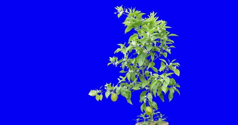 Blossom and gorgeous lemon tree shot on blue screen background during a mild windy day