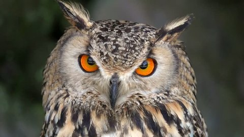 Portrait of Eurasian Eagle-owl (Bubo bubo)