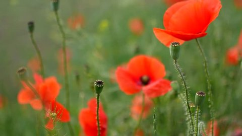 Red poppies field. Poppy flowers field. Poppy flowers swaying, fluttering in the wind.