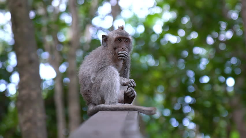 Baby monkey eating a dried potato on top of a wood in Bali.  | Shutterstock HD Video #1012849742