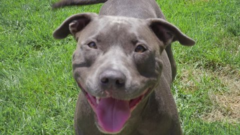 Happy Blue Pitbull Looking Up At Owner Smiling/Panting on Green Grass Lawn