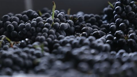 modern equipment and machinery for preparation of red wine, red grapes. viniculture industry. grapes close up