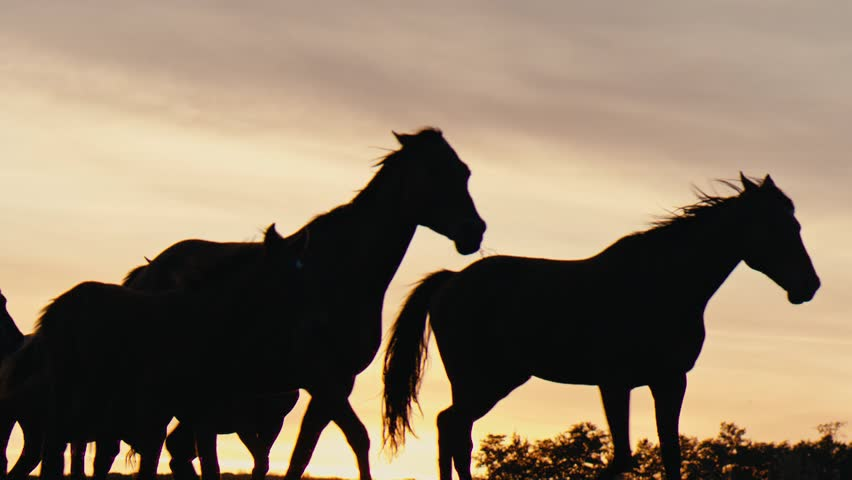 Herd of wild horsesing through the yellow hills, during pink sunset. Wild animals, wild places, running stallions #1012965572