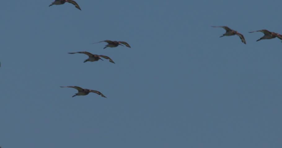 Icelandic Black-Tailed Godwits birds in flight slow motion