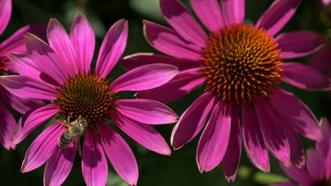 Close-up of a bee collects nectar on a purple cone-flower ( Echinacea purpurea ), native 30fps - Cinelike D - 4K video