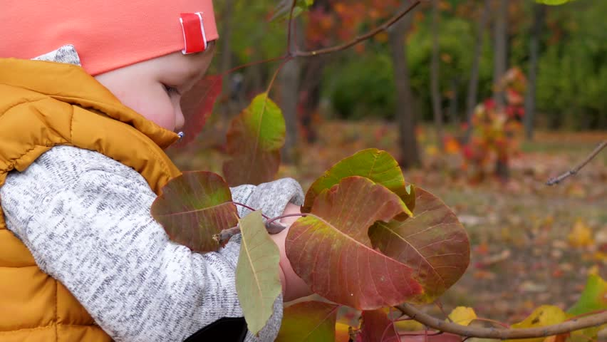 childhood, kid drool and holds branch tree with yellow leaves close-up in the autumn park near mother's hands