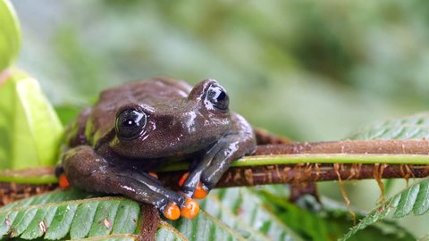 Linda's Treefrog (Hyloscirtus lindae) jumps off a tree fern leaf in slow motion. A rare frog from montane rainforest in the Ecuadorian Amazon.