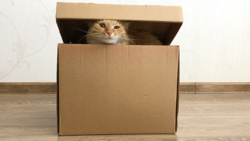 Cute ginger cat sitting inside a carton box. Fluffy pet is hiding under box cover. | Shutterstock HD Video #1013150042