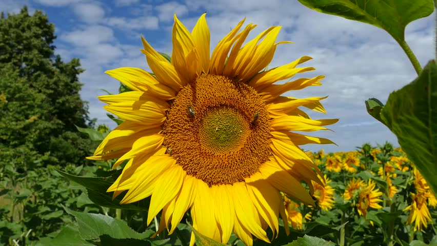 sunflower big and beautiful singles Beautiful, big and bright: the jounrney of sunny sunflower seed see more like this beautiful, big and bright: the journey of sunny sunflower seed by ruth e luongo brand new.