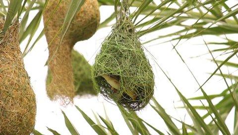 A Weaver Bird Weaving Nest.