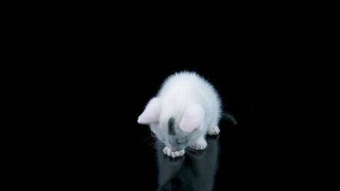 White little cat sitting and licks lips after eat, looking at own reflection, then meows and walks to camera, black background with reflection, ProRes source codec