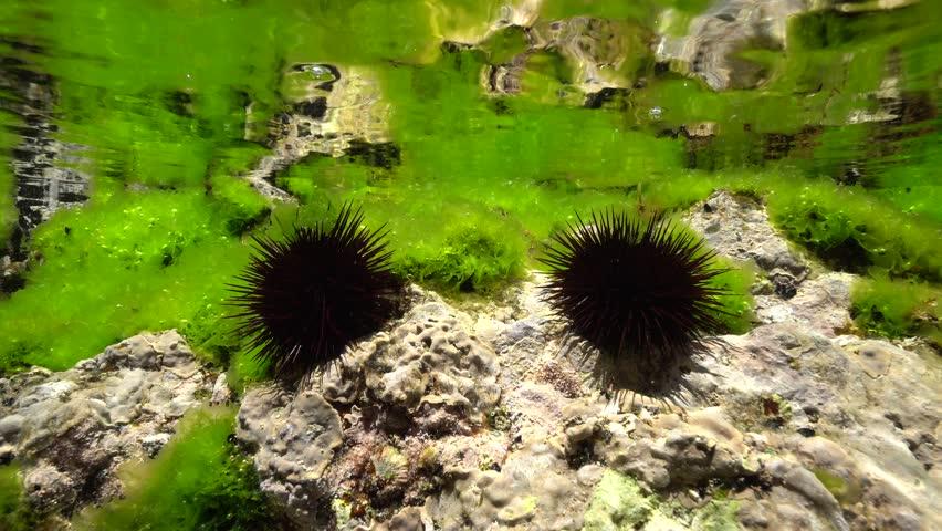 Two sea urchins, Paracentrotus lividus, on rock below water surface with sea lettuce green alga, Mediterranean sea, underwater scene, Cap de Creus, Costa Brava, Catalonia, Spain