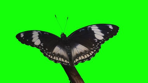Chroma Key Effect Animal Footage. Green screen. spectacular footage of a butterfly. Hypolimnus Bolina