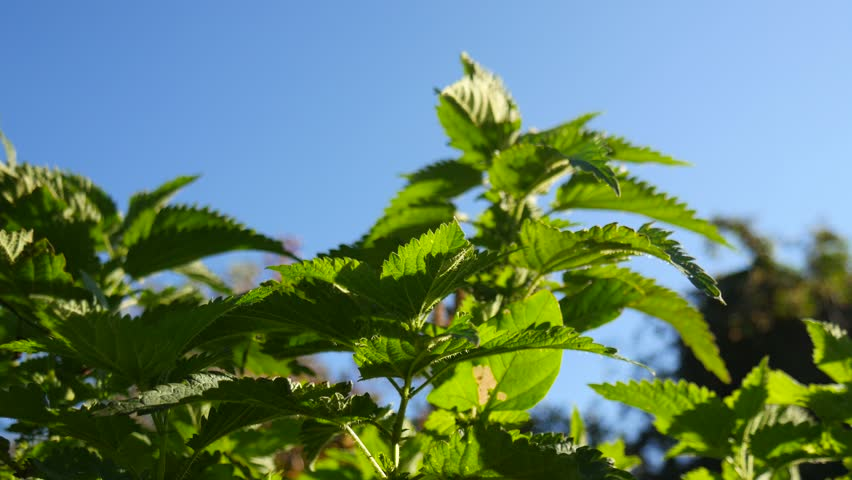 View on windblown nettle with blue sky in the background.