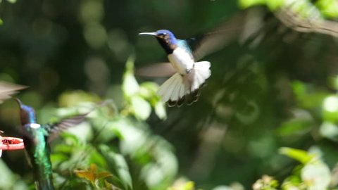 White-necked jacobin birds flying next to the nest slow motion. Known as the great Jacobin or collared hummingbird, is a large hummingbird from the Caribbean Sea. Exuberant tropical animal species.
