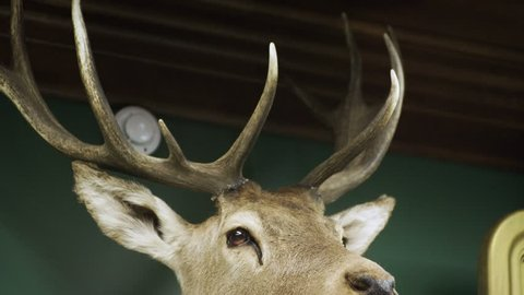 Hunter trophy. Stuffed animal hanging on the wall. Deer's head. 4K