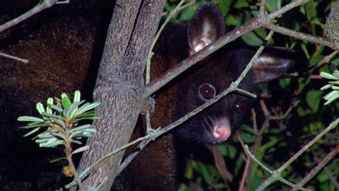 AUSTRALIA - CIRCA 2017 - A Brushtail possum looks out from a tree at night in Australia.