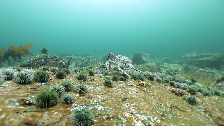 King crabs and sea urchin underwater on seabed of Kamchatka. Nature in clean transparent cold water. Wildlife on background of blue marine in Arctic ocean.