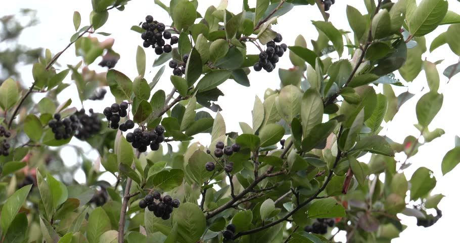 Chokeberry grows on a tree. Many branches and leaves. Small black fruit. 4K, UHD, 50fps,Wide