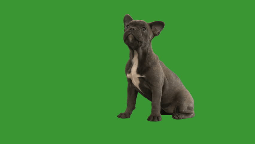 French bulldog sitting and looking at green screen #1013515322