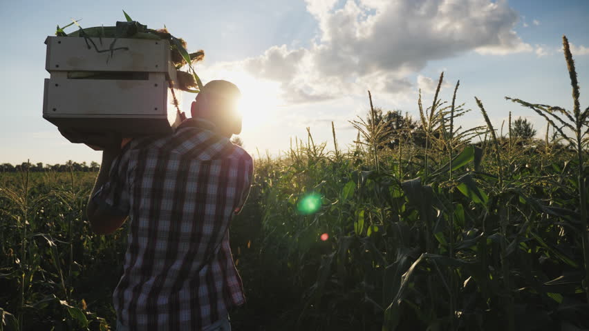 Steadicam shot of young farmer going on the field with a full wooden box of corn at sunset. Real working process of picking harvest on the organic eco farm, slow motion.