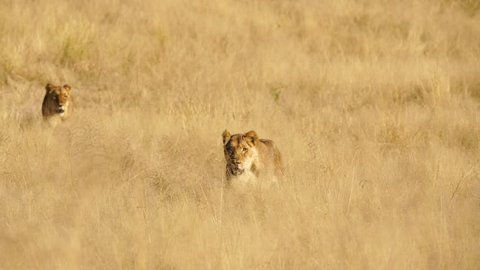 Two female lions move through the grass quickly in search of food or stalking prey in South Africa.