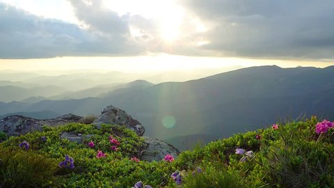 mountain flowers in the rays of the setting sun, dramatic sunset in the spring carpathian mountains, , blooming rhododendrons in mountains at sunset