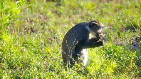Diademed monkey eating grass