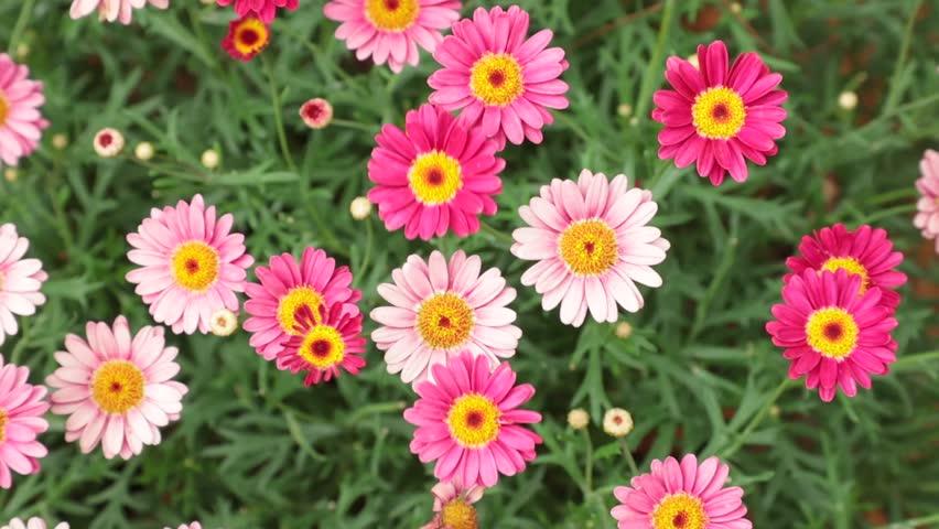 Marguerite daisy or argyranthemum wild garden flowers pink and red, high definitionie clip stock footage.