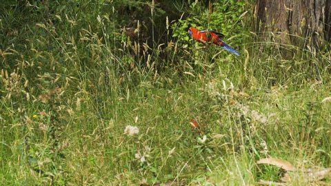 Crimson rosella Platycercus elegans parrot bird climbing a branch in Australia