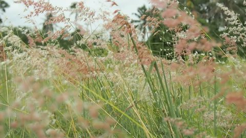 The wind blows the grass to the wind direction, fluttering the whole prairie grass looks very beautiful.