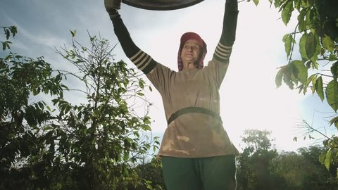 Woman selecting coffee beans with a sieve. Coffee farmer woman selecting picking fresh red ripen arabica coffee at coffee plantation