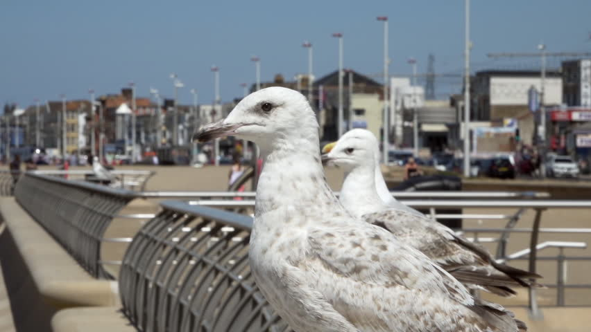 Seagull standing on a fence slow motion stock footage   Shutterstock HD Video #1013809592