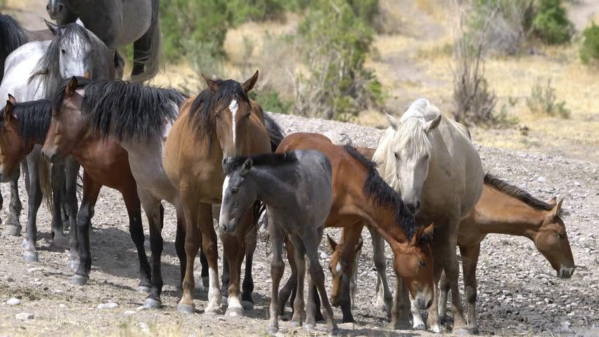 Herd of wild horses standing in the dry desert in the West Desert of Utah.
