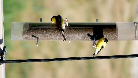 Verticle orientation of a mated pair of American Goldfinches hanging upside down and eating from a thistle feeder