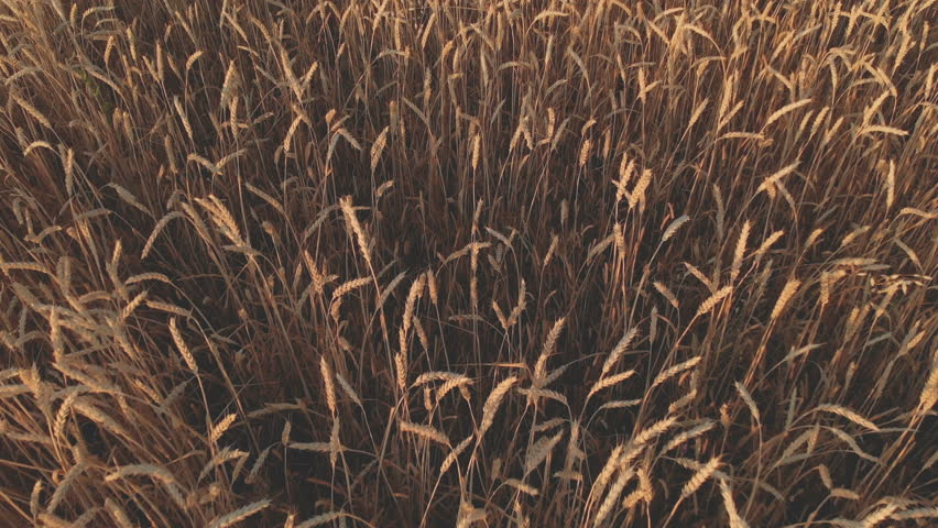 Aerial top down footage of wheat field showing golden grain crops slowly moved by wind wheat is grass widely cultivated on sunset 4k resolution 100 mbps Unveiling shot