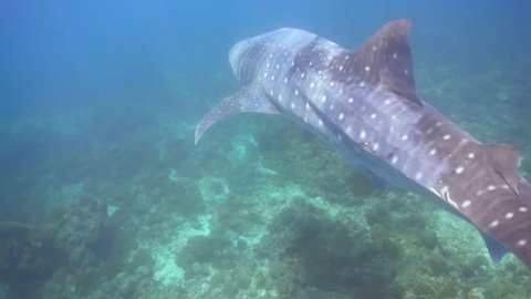 Close encounter with a whaleshark in a shallow reef