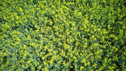 Aerial view of large field of rape flower blossom at Chichester, United Kingdom