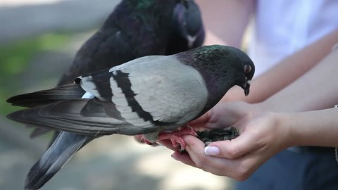 Pigeons eat from the hands. The city birds sit on their hands and peck sunflower seeds. People feed pigeons.