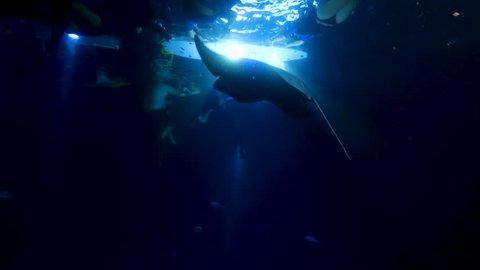 Swimming with Manta Rays in Kona, Hawaii