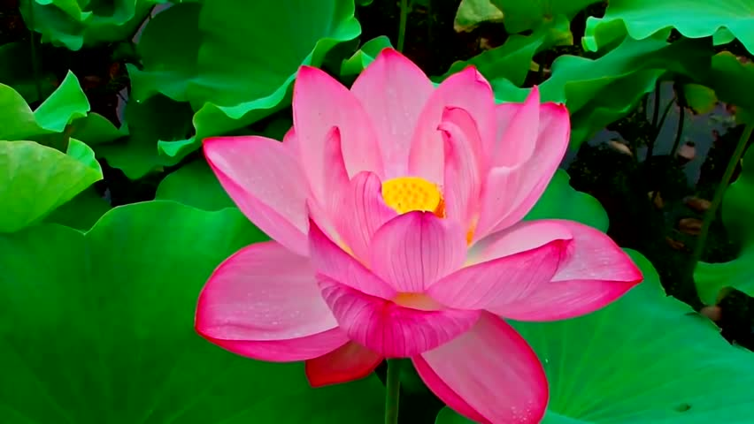 Pink Lotus Flower The Background Stock Footage Video 100