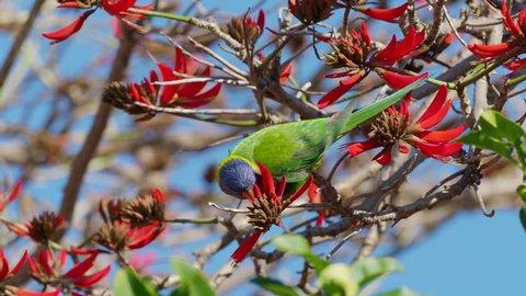 A Rainbow Lorikeet (Trichoglossus haematodus) - a colourful, medium-sized Australian parrot - feeding on the flowers of a Coral Tree (Erythrina sykesii) in Perth, Western Australia.