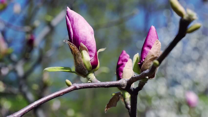 flowers of pink magnolia, pink Magnolia flowers on tree branch, Magnolia tree blossom, magnolia bud