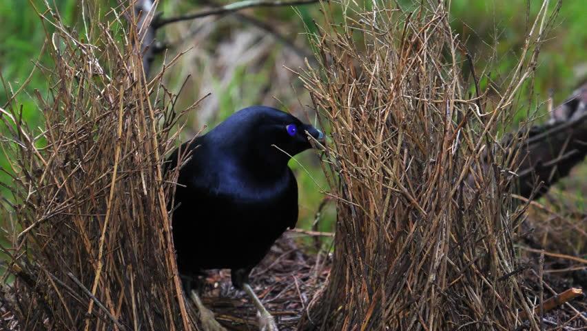 Satin bowerbird arranges sticks in nest in Australia.