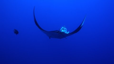 Looking down at giant manta ray in the blue with squabbling remoras on top - Socorro.