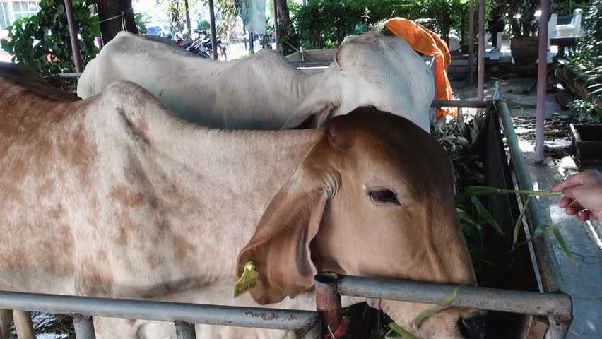Somebody feeds some strands of grass to two cows in the grounds of a Buddhist Temple.