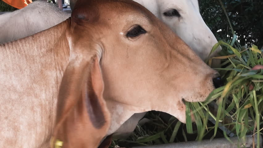A close-up of somebody feeding some strands of grass to cows in the grounds of a Buddhist Temple.