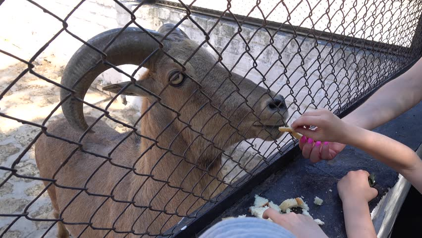 Kherson region, Ukraine - 3d of June 2018: 4K Tour to the Askania-Nova reserve - Children feed a Barbary sheep with bread