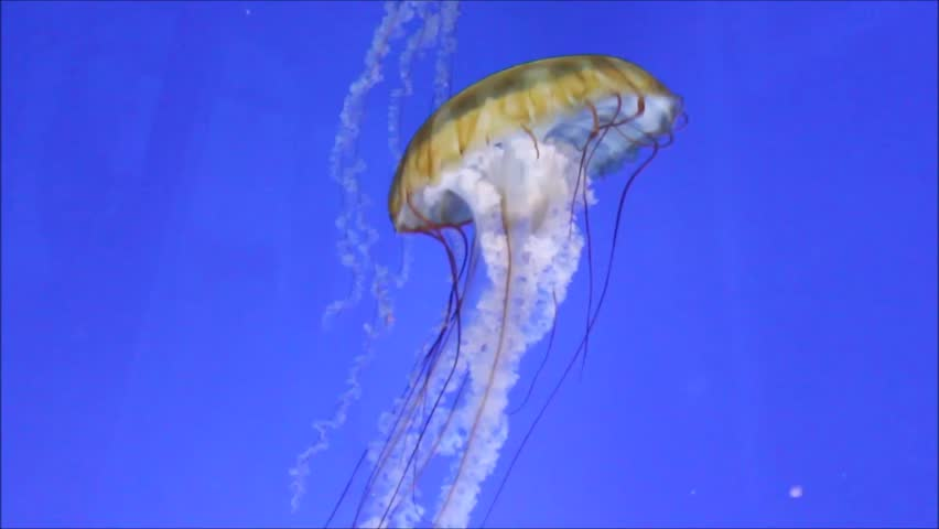 jellyfish sea nettle swimming underwater Japanese sea nettle, Pacific sea nettle, Sea Nettle Jellyfish, alive, animal, aquerium, beauty, brown, brown jellyfish, chrysaora, chrysaora fuscesens,